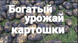 Богатый урожай картошки расцвёл Безвременник тушёная картошка рецепт