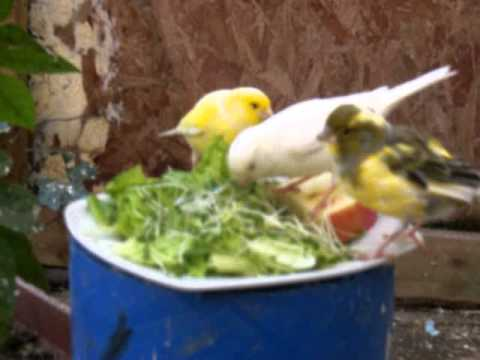 CANARIES EATING IN THEIR AVAIRY
