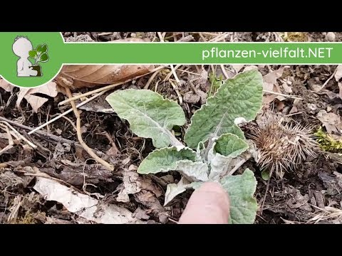 Ragweed/Ambrosia 2019 - Blätter/Blüten & Co - 22.08.19 (Ambrosia artemisiifolia) - allergene Pflanze from YouTube · Duration:  12 minutes 19 seconds