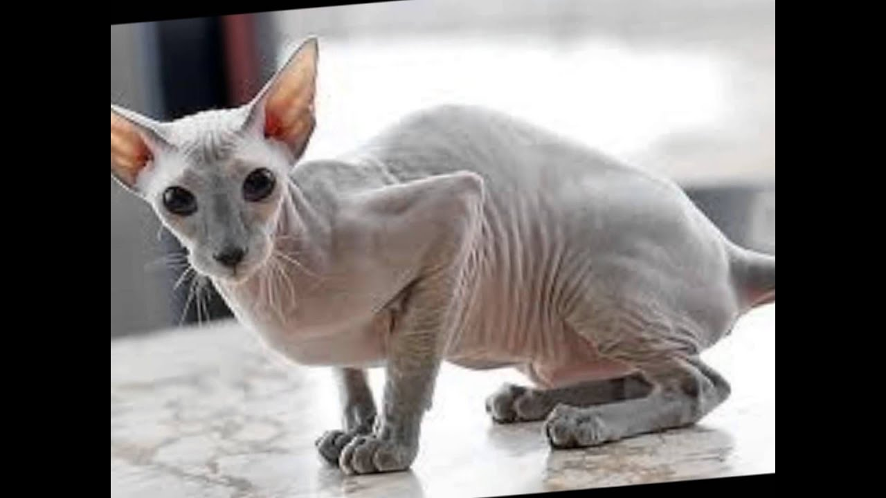 Cats W No Hair