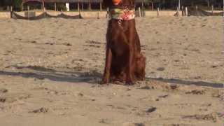 生後10ヶ月のライアンがお兄ちゃん犬のヴィッツにボール取り合戦を仕掛...