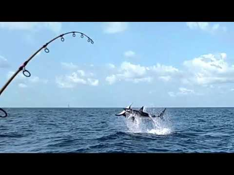Mako Shark Eats Sailfish