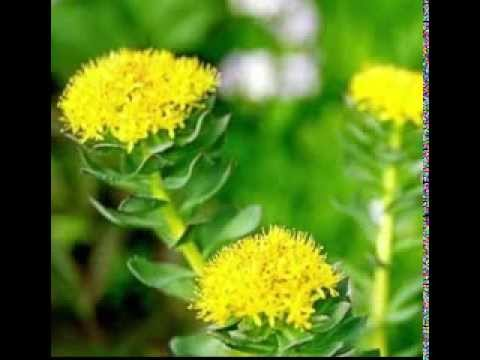 Rhodiola Herb Benefits YouTube