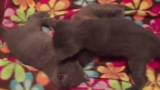 Котята Шартрез после 5 минут тишины Chartreux kittens after 5 minutes of silence
