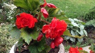 119.Бегония  клубневая -  настоящее украшение сада.