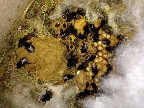 Steinhummel, Bombus lapidarius, Hummelnest im Verlauf eines Jahres
