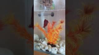 Петушок бойцовская рыбка