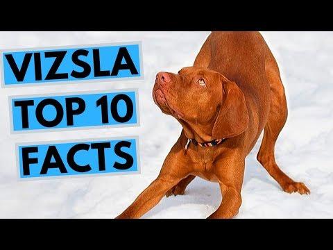 Vizsla - TOP 10 Interesting Facts