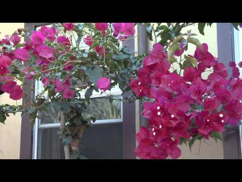 How to Use Bougainvillea for Flower Landscaping : Great Gardening