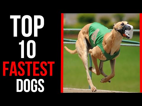 Top 10 Fastest Dog Breeds in the World 2020 | Billa Boyka |