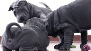 Stock Footage - Shar Pei Pups Playing With A Rag | Videohive