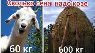 сколько сена надо козе на зиму, содержание коз,  чем кормить коз зимой