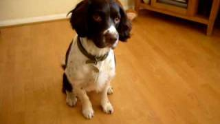 English Springer Spaniel Tricks (the Best)