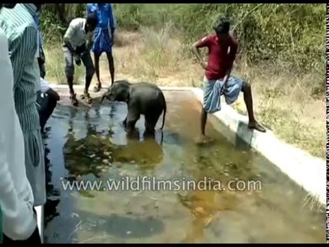 Really cute dehydrated Baby Elephant cools down after rescue in India