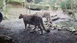 Puma-Silberlöwe, Berglöwe oder Kuguar.