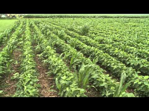Volunteer Corn Impact - Lowell Sandell - July 11, 2014