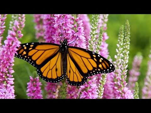 Monarch Butterfly Migration: A Mystery Of The Natural World - HD Documentary
