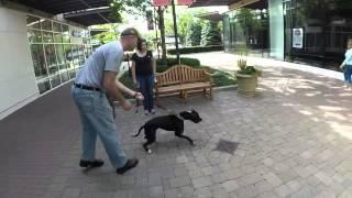 Tucker Aggressive Pit Bull Behavior Modification Training