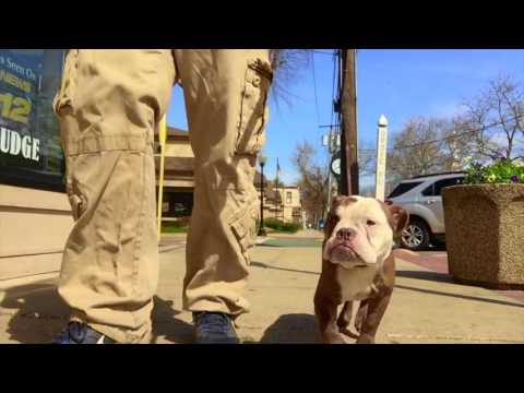 Long Island Dog Trainer: Bulldog/Boston Terrier with Amazing Obedience-Best Dog Trainers in NY