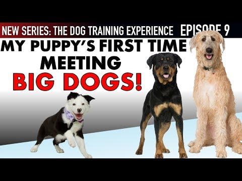 NEW EPISODE! My Puppys First Time Meeting BIG Dogs and WAY More! (Dog Training Experience Ep. 9)