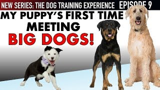 new-episode-my-puppy-s-first-time-meeting-big-dogs-and-way-more-dog-training-experience-ep-9
