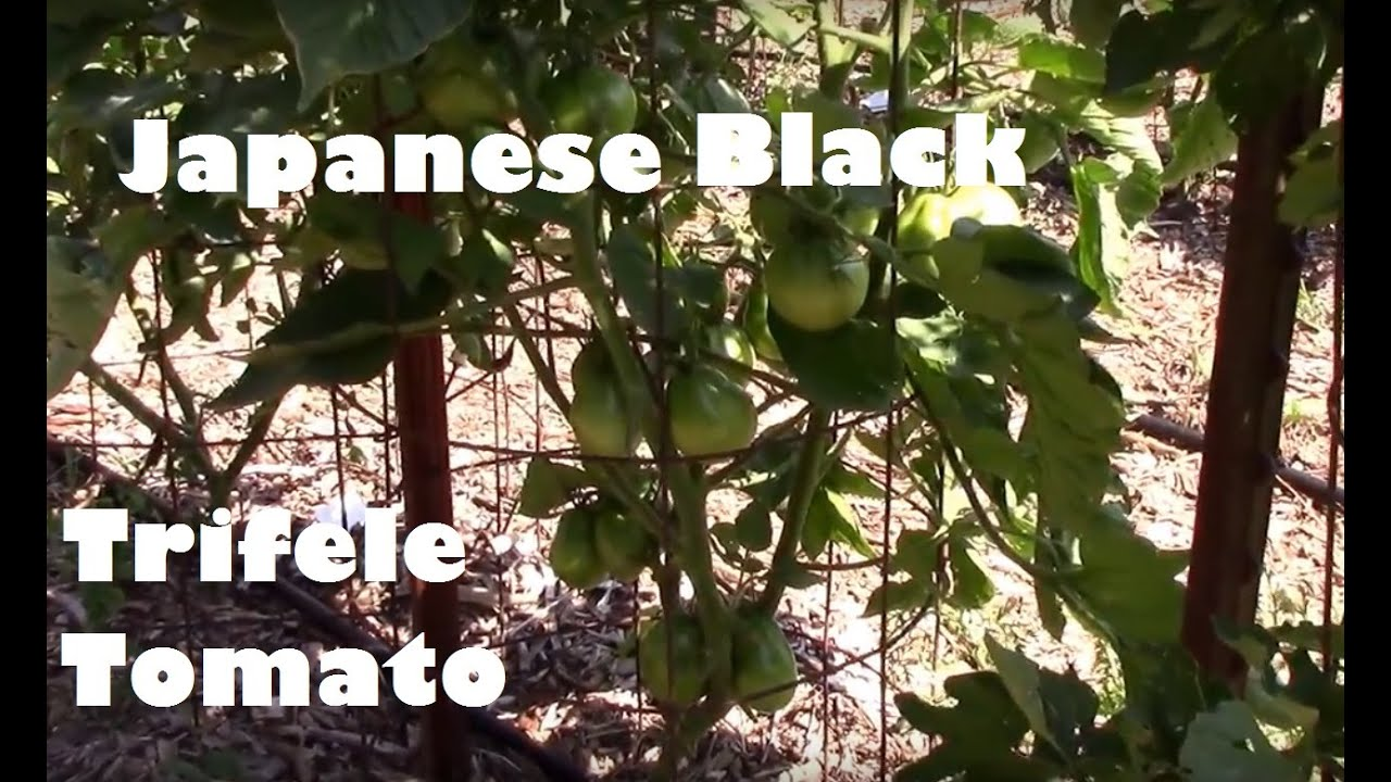 Japanese truffle tomato - the best for marinade 21