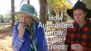 Date Tree - How Australians Grown them in Alice Springs - Gardening Australia