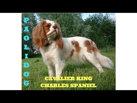 CAVALIER KING CHARLES SPANIEL   (Top 10 interesting facts)