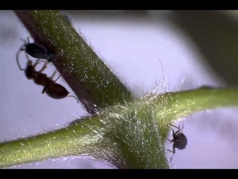 Microscope // Fourmis et pucerons : relation de collaboration
