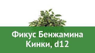 Фикус Бенжамина Кинки, d12 обзор ЦКР0126 бренд производитель