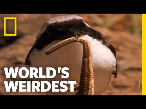 Cute Bird Impales Its Prey | World's Weirdest