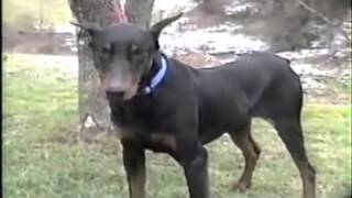 Doberman Pinscher Puppies / Hd Pictures And Videos