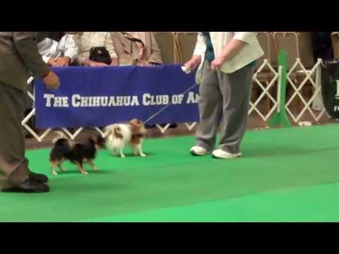 Bogie Chihuahua Club of America National Specialty 2013 wins his class! 5 in his class.