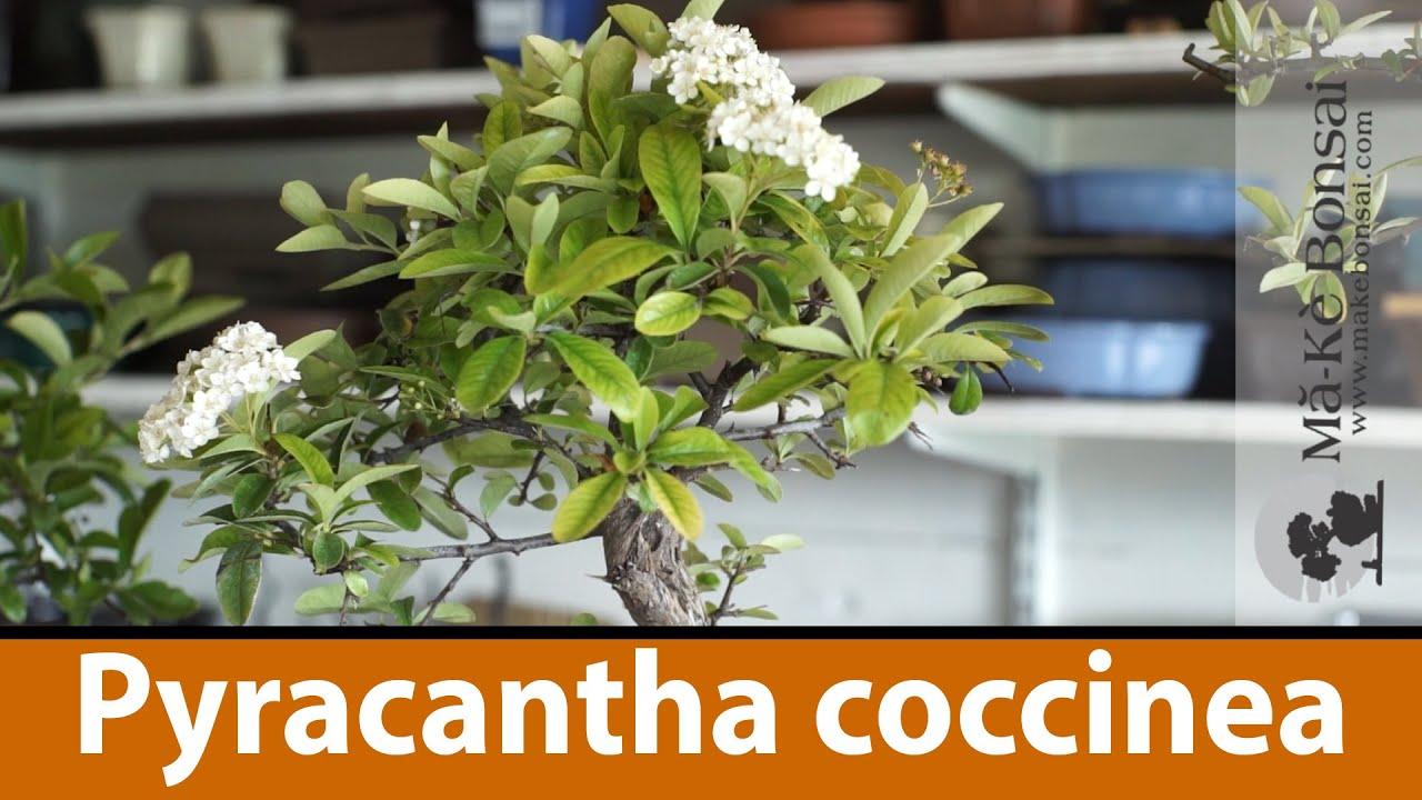 124) Bonsai Tree Care of Pyracantha coccinea or Scarlet Column Firethorn