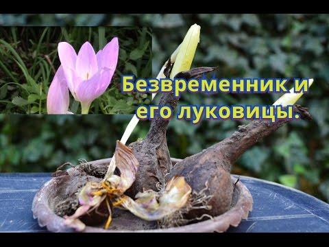 Безвременник (фото) посадка и уход за цветком