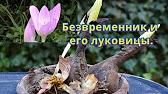 Интернет-магазин саженцев предлагает купить около 20 видов безвременника с белыми, лиловыми и фиолетовыми цветами. В ассортименте самые популярные сорта саженцев бессмертника для вашего сада.