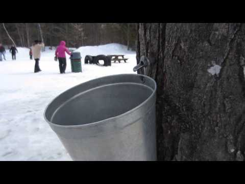 Maple Syrup Tap Demo