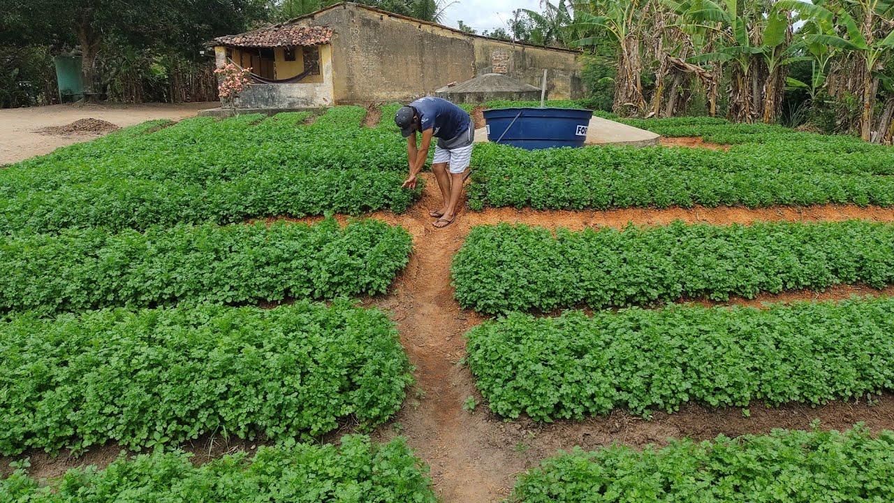 mostrando a plantação de coentro
