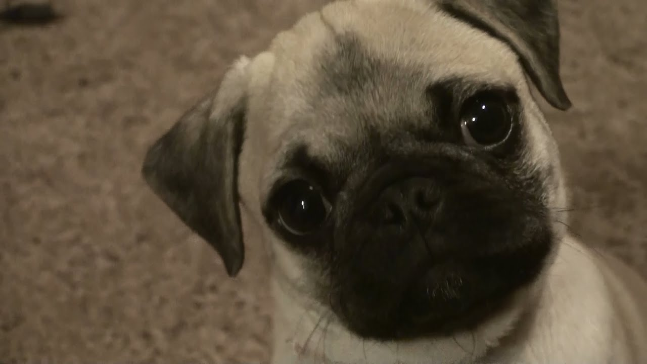 Going Crazy Pug Puppy Attack And Cuteness Our Baby Pug Youtube