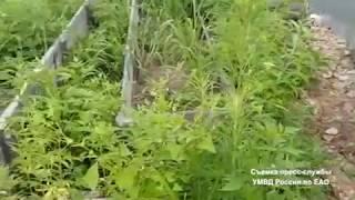 250 кустов конопли изъяли в ЕАО (РИА Биробиджан)