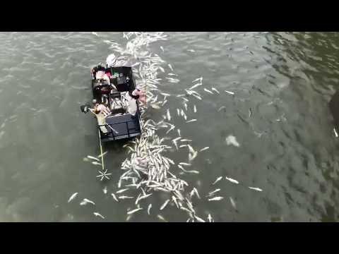 Electro-Fishing At Barkley Dam 7-30-19
