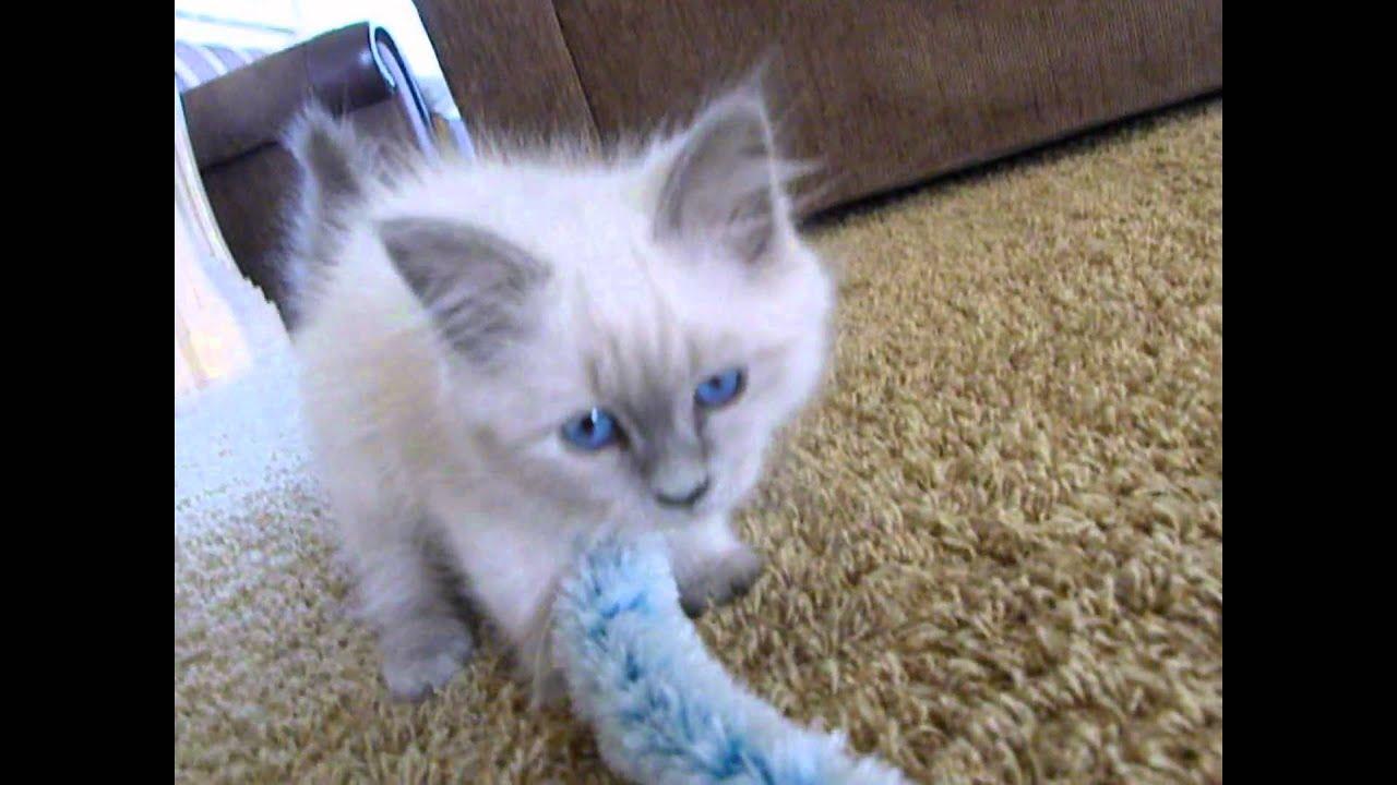 Ragdoll cat 13 weeks