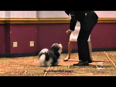 Havanese Club of America 2014 Best of Breed Winner