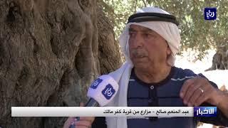فخر فلسطيني بشجرة الزيتون الرومية التي تعود إلى سنوات ما قبل الميلاد - (6-10-2017)