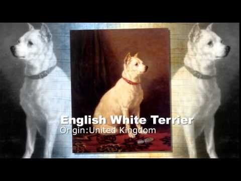 English White Terrier Dog Breed