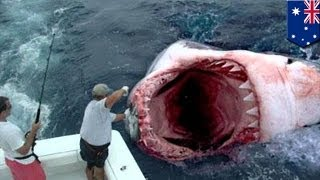 Гигантскую большую белую акулу сожрал загадочный монстр