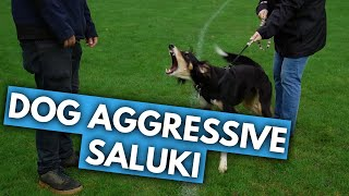 Nick Meets Zero the Aggressive Saluki