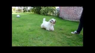 Sealyham Terrier Whitepepper's Othello and his Kong