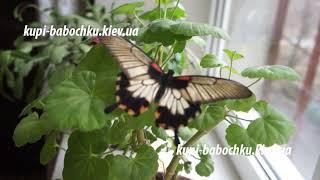 Бабочка парусник леви  альбинос