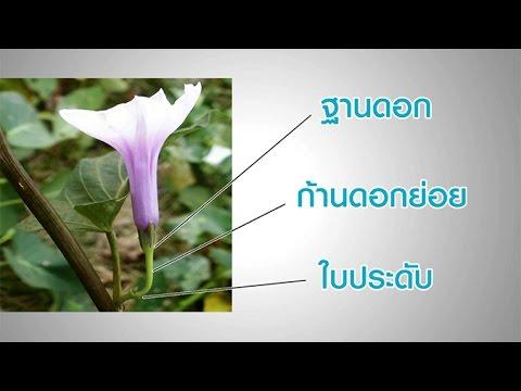 โครงสร้างของดอก (Structure of Flower) วิทยาศาสตร์ ม.4-6 (ชีววิทยา)